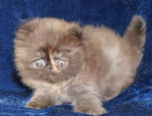 2 300x229 exotic persian past kittens