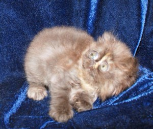 3 300x254 exotic persian past kittens