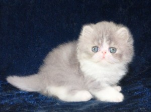 1 300x223 exotic persian past kittens