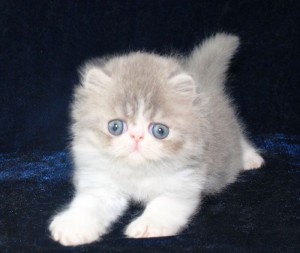 2 300x253 exotic persian past kittens