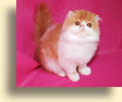 Питомники кошек породы экзотическая короткошерстная в москве